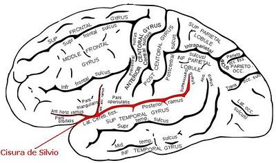 Cisura De Silvio Neurocirugia Contemporanea